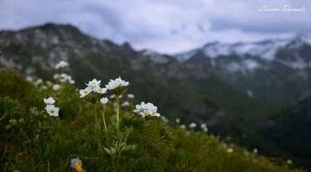 fiori-alpe-rittana